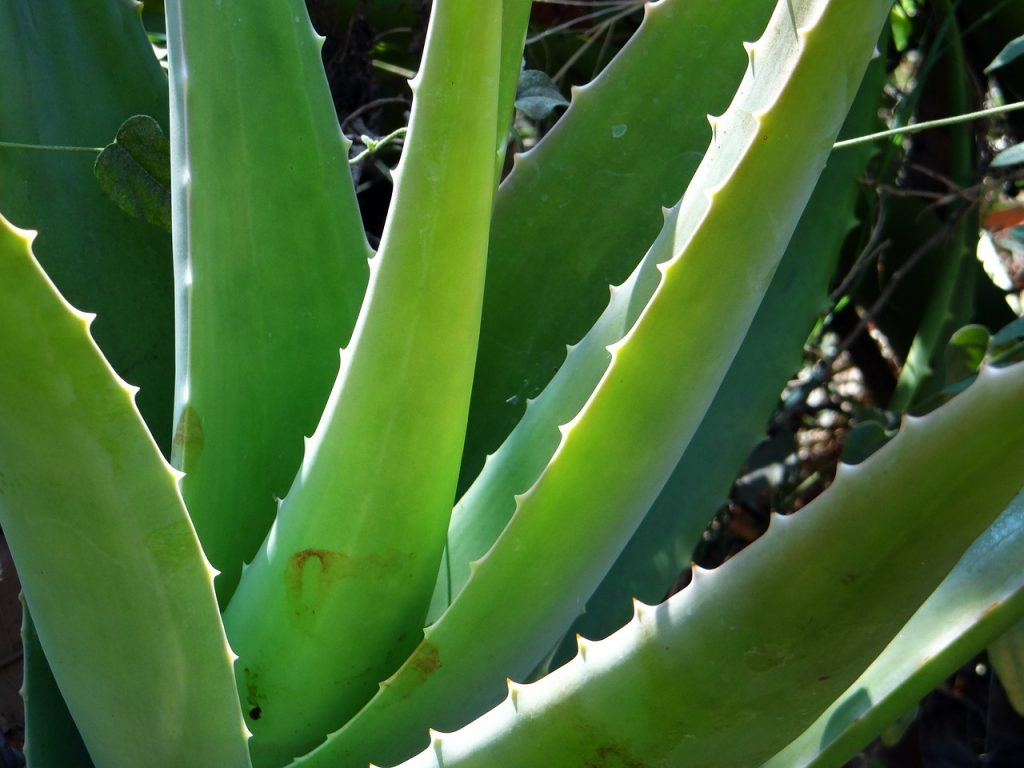 aloe vera, superalimentos, superfood, comida saludable, comida sana, healthy food, saludable food, food, comida, alimentación sana, fooding magazine, healthy food magazine, revista alimentación sana