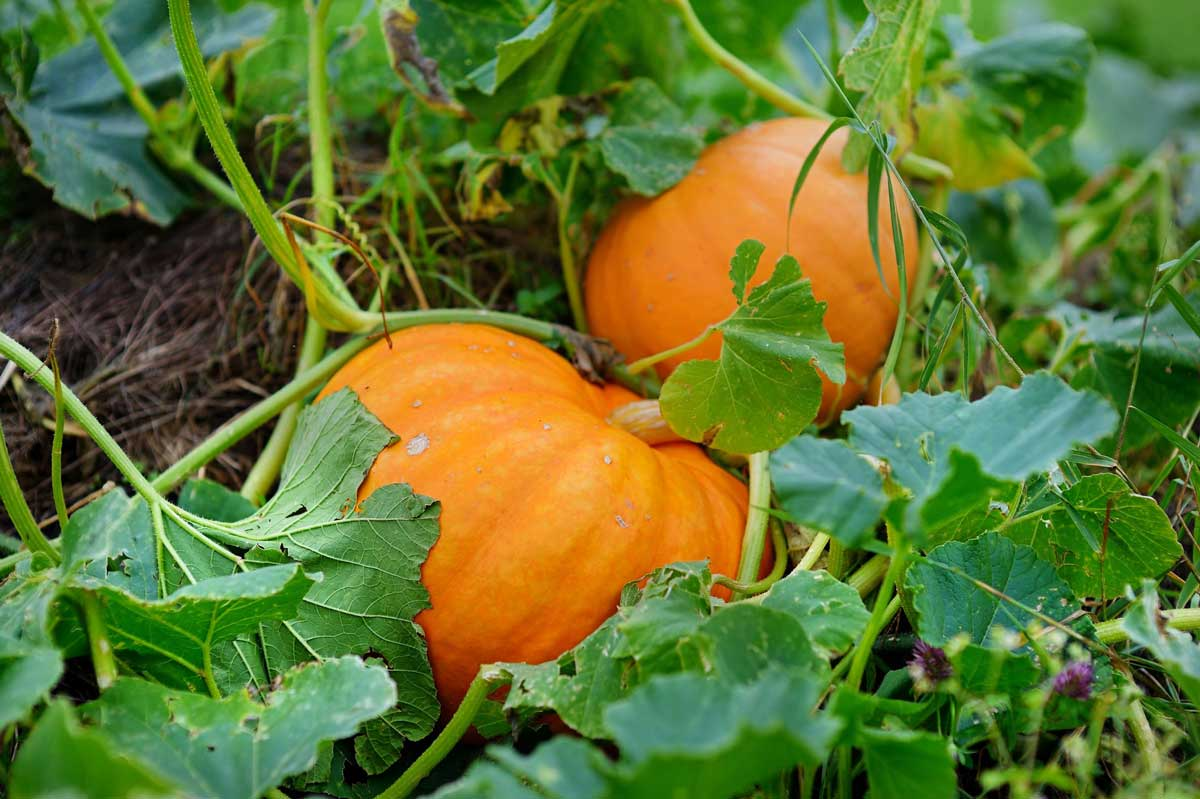 gardeningpumpkins