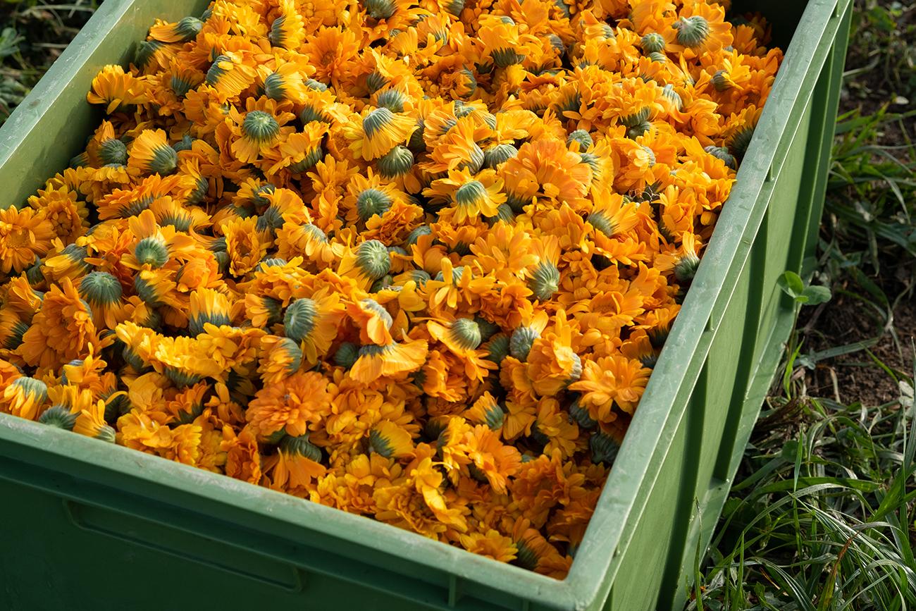 marigold, fields, harvest, box full of harvested marigold flowers
